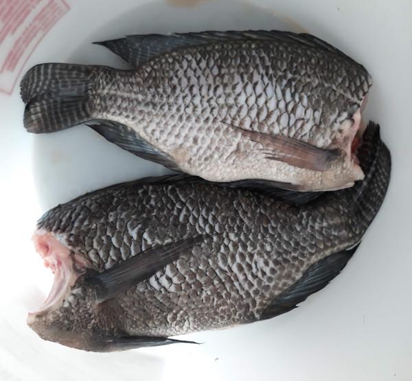 November Fish Harvesting